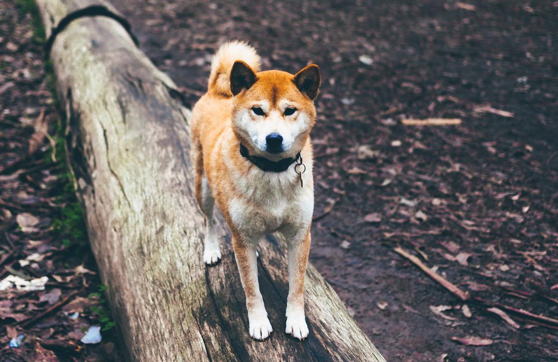 遺伝的に一番オオカミに近い柴犬
